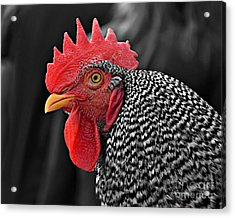 Handsome Plymouth Rock Rooster Acrylic Print