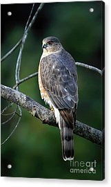 Handsome Sharp Shinned Hawk Acrylic Print