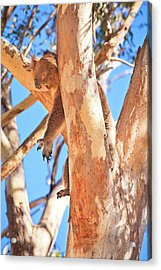 Acrylic Print featuring the photograph Hanging Around, Yanchep National Park by Dave Catley