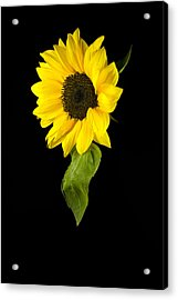 Acrylic Print featuring the photograph Hanging Sunflower by Elsa Marie Santoro