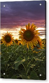 Happiness Is A Field Of Sunflowers Acrylic Print by Debra and Dave Vanderlaan