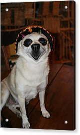 Happy Chihuahua  Acrylic Print by Angie Wingerd