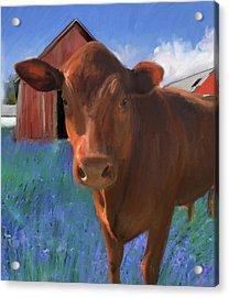 Happy Cow West Marin  Acrylic Print