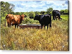 Happy Cows Come From California ... Acrylic Print by Bob Kramer