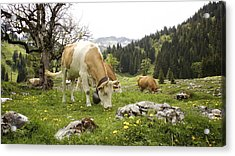 Happy Cows In High Pastures Acrylic Print