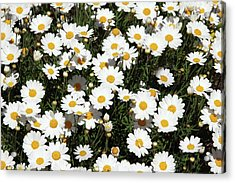 Happy Daisies- Photography By Linda Woods Acrylic Print