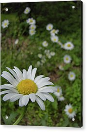 Happy Daisy Acrylic Print by JAMART Photography