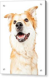 Happy Golden Retriever Crossbreed Dog Looking Up Acrylic Print by Susan Schmitz