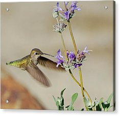 Happy Hummer Acrylic Print by Jean Booth