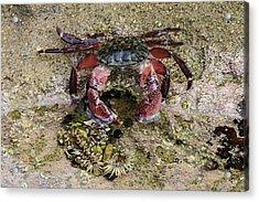 Happy Little Crab Acrylic Print