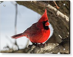 Happy Mister Cardinal Acrylic Print