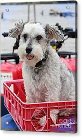 Happy - Puppy Mania Photograph Acrylic Print by Ella Kaye Dickey