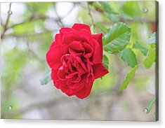 Acrylic Print featuring the photograph Happy Red Flower by Raphael Lopez