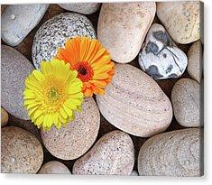 Sunshine Daisies And Pebbles On The Beach Acrylic Print