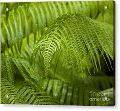 Hapu'u Tree Ferns Acrylic Print by Charmian Vistaunet