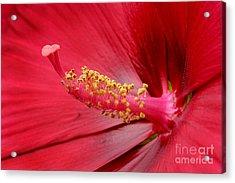 Hardy Hibiscus Acrylic Print by Jeannie Burleson
