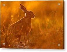 Hare At Dusk Acrylic Print