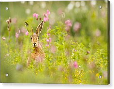 Hare In Campion Acrylic Print