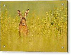 Hare In Mustard Crop Acrylic Print