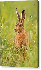 Hare In The Grass Acrylic Print