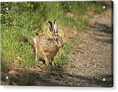 Hare In The Woods Acrylic Print