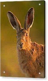 Hare Portrait Acrylic Print