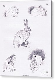 Hare Studies Acrylic Print by Archibald Thorburn