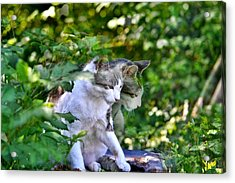 Acrylic Print featuring the photograph Harlequin Cat Twins by Chriss Pagani