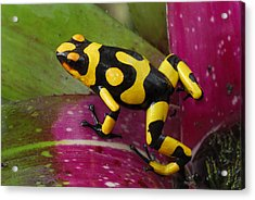 Harlequin Poison Dart Frog  Acrylic Print by Thomas Marent