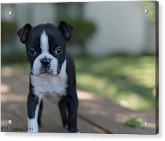 Harley As A Puppy Acrylic Print by Lora Lee Chapman