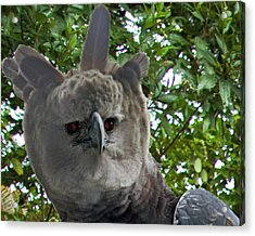 Harpy Eagle Acrylic Print by Larry Linton