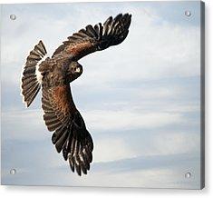 Harris Hawk 2 Acrylic Print by Wade Aiken