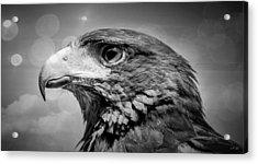 Harris Hawk  Black And White Acrylic Print