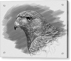 Harris Hawk Drawing Acrylic Print by Kathie Miller