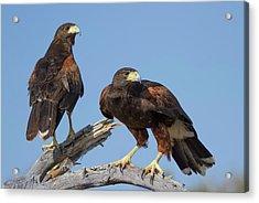 Acrylic Print featuring the photograph Harris Hawks by Elvira Butler