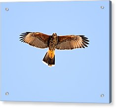 Acrylic Print featuring the photograph Harris's Hawk H36 by Mark Myhaver
