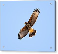 Acrylic Print featuring the photograph Harris's Hawk H37 by Mark Myhaver