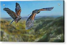 Harris's Hawks Acrylic Print
