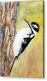 Harry The Hairy Woodpecker Acrylic Print