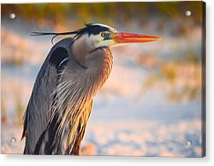 Harry The Heron With Plumage Close-up Acrylic Print by Jeff at JSJ Photography