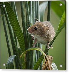 Harvest Mouse Close Up Acrylic Print by Philip Pound