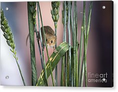 Harvest Mouse In Grass Acrylic Print by Philip Pound