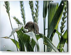 Harvest Mouse On Stalks Of Grass Acrylic Print by Philip Pound