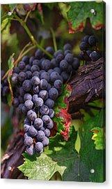 Harvest Time In Palava Vineyards Acrylic Print by Jenny Rainbow