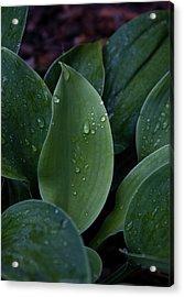 Hausta Dew Drops Acrylic Print by Douglas Barnett