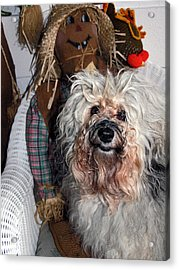 Acrylic Print featuring the photograph Havanese Cutie by Sally Weigand
