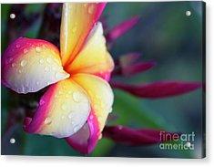 Acrylic Print featuring the photograph Hawaii Plumeria Flower Jewels by Sharon Mau
