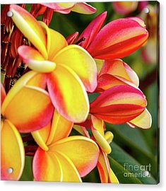 Acrylic Print featuring the photograph Hawaii Plumeria Flowers In Bloom by D Davila
