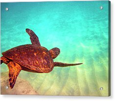 Hawaiian Green Sea Turtle Acrylic Print by Bette Phelan