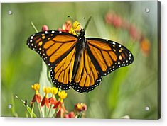 Hawaiian Monarch 3 Acrylic Print by Michael Peychich
